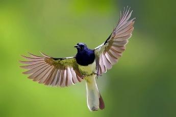 burung kacer