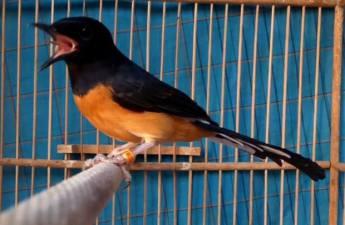 Sangkar burung murai batu bisa dipiliha yang bentuk bulat maupaun kotak